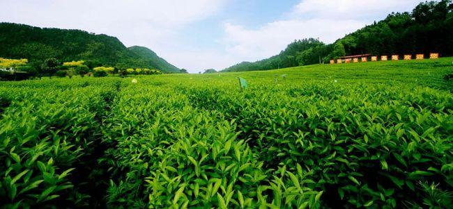 华莱董事长陈社强:企业是打造安化黑茶全产业链的中坚