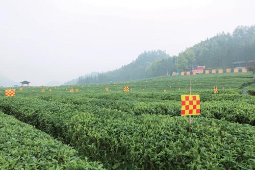 湖南华莱:匠心制茶 科技兴业